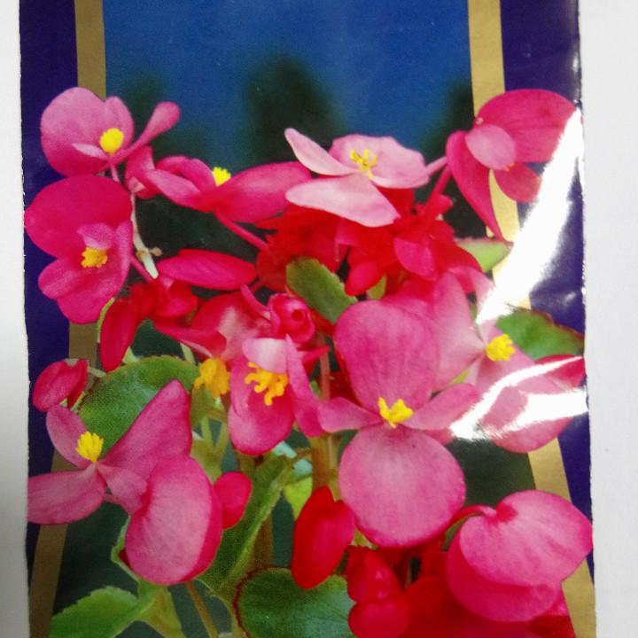 Насіння кімнатних рослин Бегонія вічноквітуча ВАРИАЦІЯ темно-рожева F1