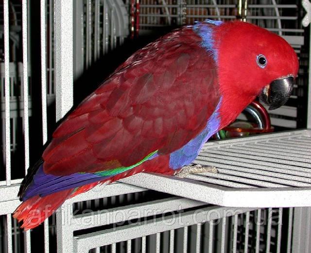 Благородні папуги, Эклектусы (Eclectus roratus) - докормыши