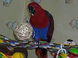 Благородні папуги, Эклектусы (Eclectus roratus) - докормыши, фото 2