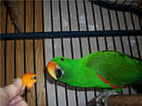 Благородні папуги, Эклектусы (Eclectus roratus) - докормыши, фото 3