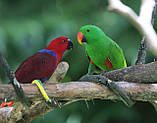 Благородні папуги, Эклектусы (Eclectus roratus) - докормыши, фото 4