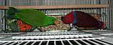 Благородні папуги, Эклектусы (Eclectus roratus) - докормыши, фото 5