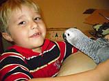 Жако пташенята (ручного докормления) 3,5 - 4 міс., фото 7
