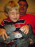 Жако птенцы (ручного докормления) 3,5 - 4 мес., фото 9
