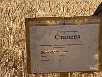 Семена пшеница озимая СТАЛЕВА элита оригинатор ЧСС ОП БОР (интенсивного типа)