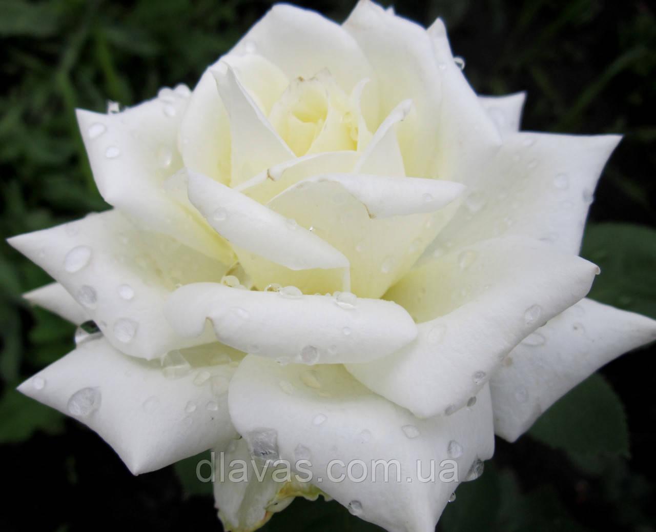 Роза чайно-гибридная Полар Стар ЦВЕТЕНИЕ ДО МОРОЗОВ