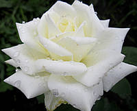 Роза чайно-гибридная Полар Стар ЦВЕТЕНИЕ ДО МОРОЗОВ, фото 1