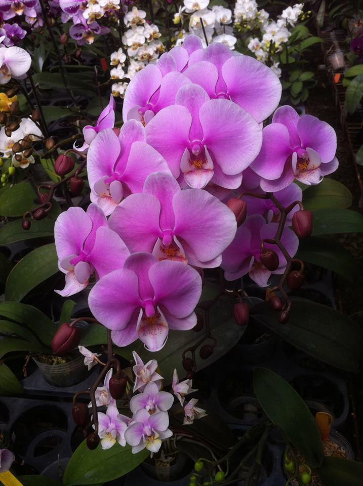 Подростки орхидеи. Сорт Phal. Lady Margaret-2 пятнистый лист, горшок 1.7 без цветов