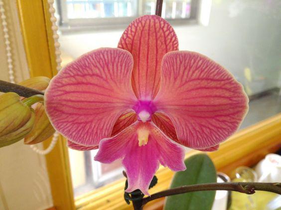 Подростки орхидеи. Сорт Phal. Artemis биглип, горшок 1.7 без цветов