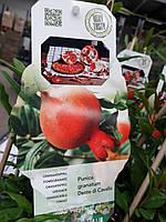 Гранат Крупноплодный 100-120 см. Комнатный, фото 1