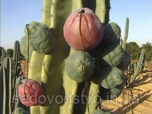 яблочный кактус