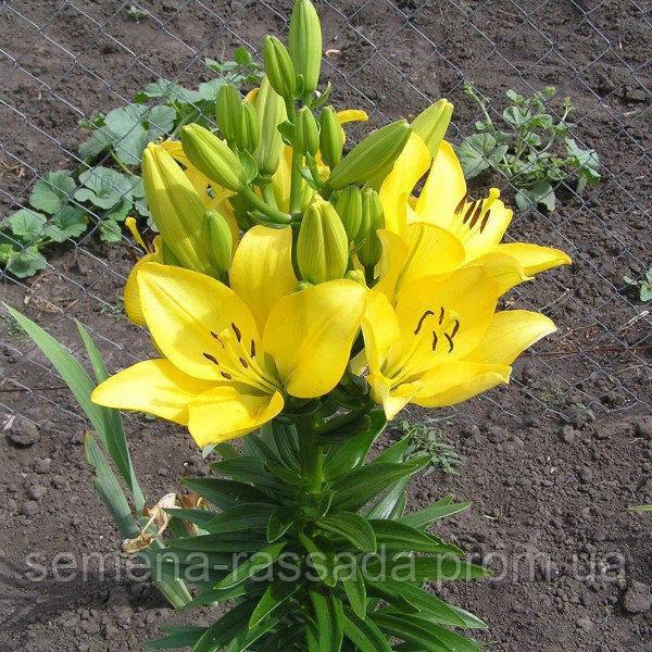 Обновлён ассортимент луковичных растений