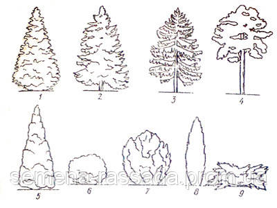 Кроны хвойных растений