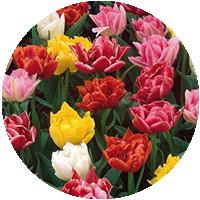 Махровые ранние тюльпаны (DET)