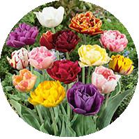 Махровые поздние тюльпаны (DLT)