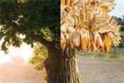 Семена кукурузы НК Леморо
