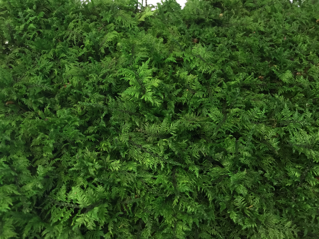 Стабилизированный мох папоротниковый