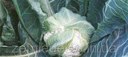 Семена цветной капусты Лекану F1 2500 сем. Syngenta