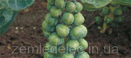 Семена брюссельской капусты Абакус F1 2500 семян Syngenta