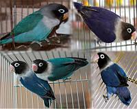 Неразлучник Масковый попугай синего окраса (Agapornis personatus)