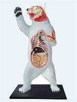 Объемная анатомическая модель Белый медведь, (26097), 4D Master, фото 1