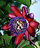 Passiflora Ambigua - Гранадилья-де-Монте