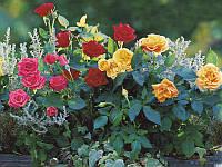 Роза спрей mix