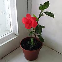 Барлерия - неприхотливое комнатное растение, фото 1