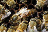 Пчелиная матка - Матка пчелы украинской степной породы 2020