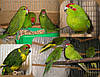 Новозеландский  попугай Какарик зеленого цвета