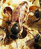Пчелиная матка украинской степной породы 2020