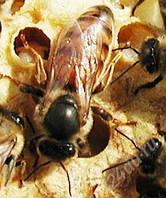 Пчелиная матка украинской степной породы 2020, фото 1