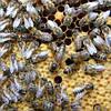 Матка пчелы украинской степной породы 2020 Пчелиная матка -