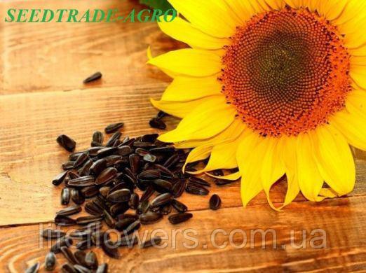 Насіння соняшника НС Х 7634, фото 1