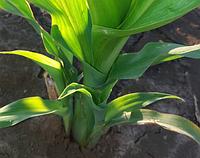 Почему пасынкуется кукуруза? Как предупредить пасынкование?