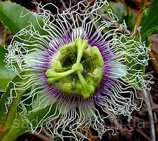 Passiflora edulis flavicarpa - Lilikoi
