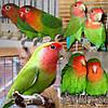 Неразлучник попугай Розовощекий зеленый (Agapomis roseicollis)
