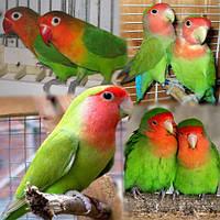 Неразлучник попугай Розовощекий зеленый (Agapomis roseicollis), фото 1