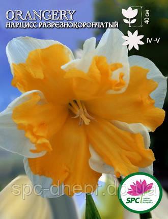 Нарцисс разрезнокорончатый Orangery, фото 2
