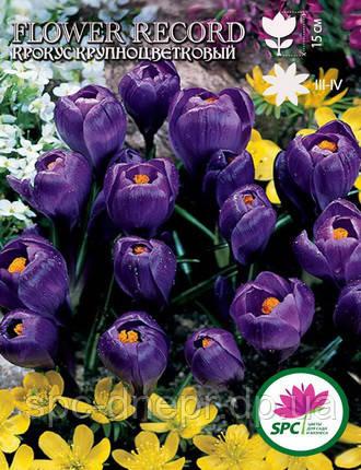 Крокус крупноцветковый Flower Record, фото 2