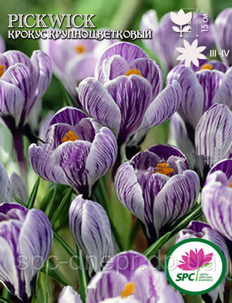 Крокус крупноцветковый Pickwick, фото 2