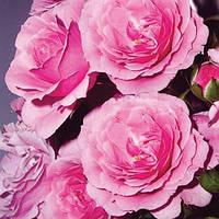 Роза флорибунда Роза Роял Боника (шраб) саженец