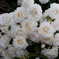 Роза плетистая Сноу Балет (шраб) саженец