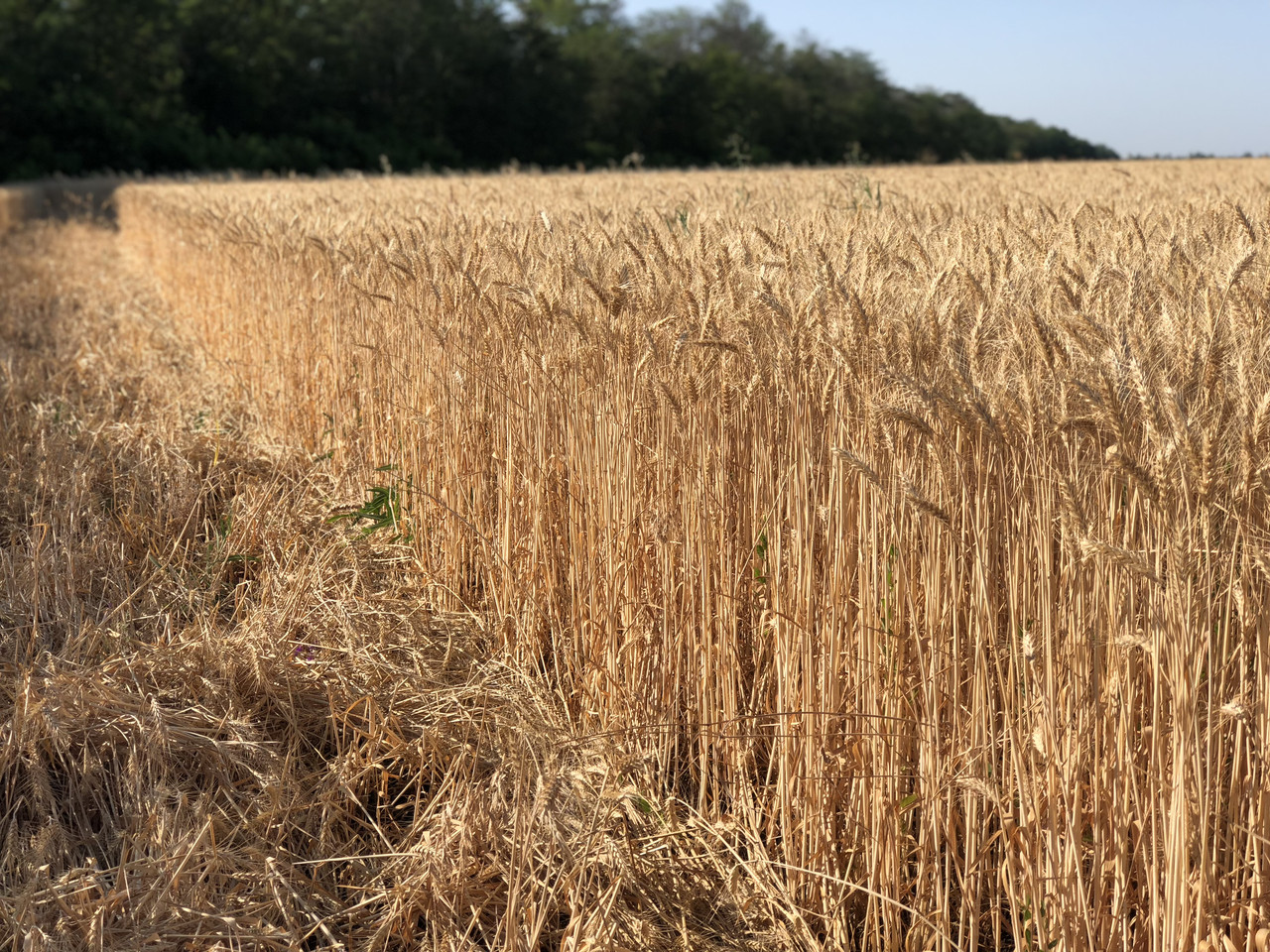 Семена пшеница озимая ШЕСТОПАЛОВКА ЭЛИТА оригинатор ЧСС ОП БОР