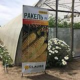 Семена сладкой кукурузы РАКЕЛЬ F1, 50 000 семян, фото 5