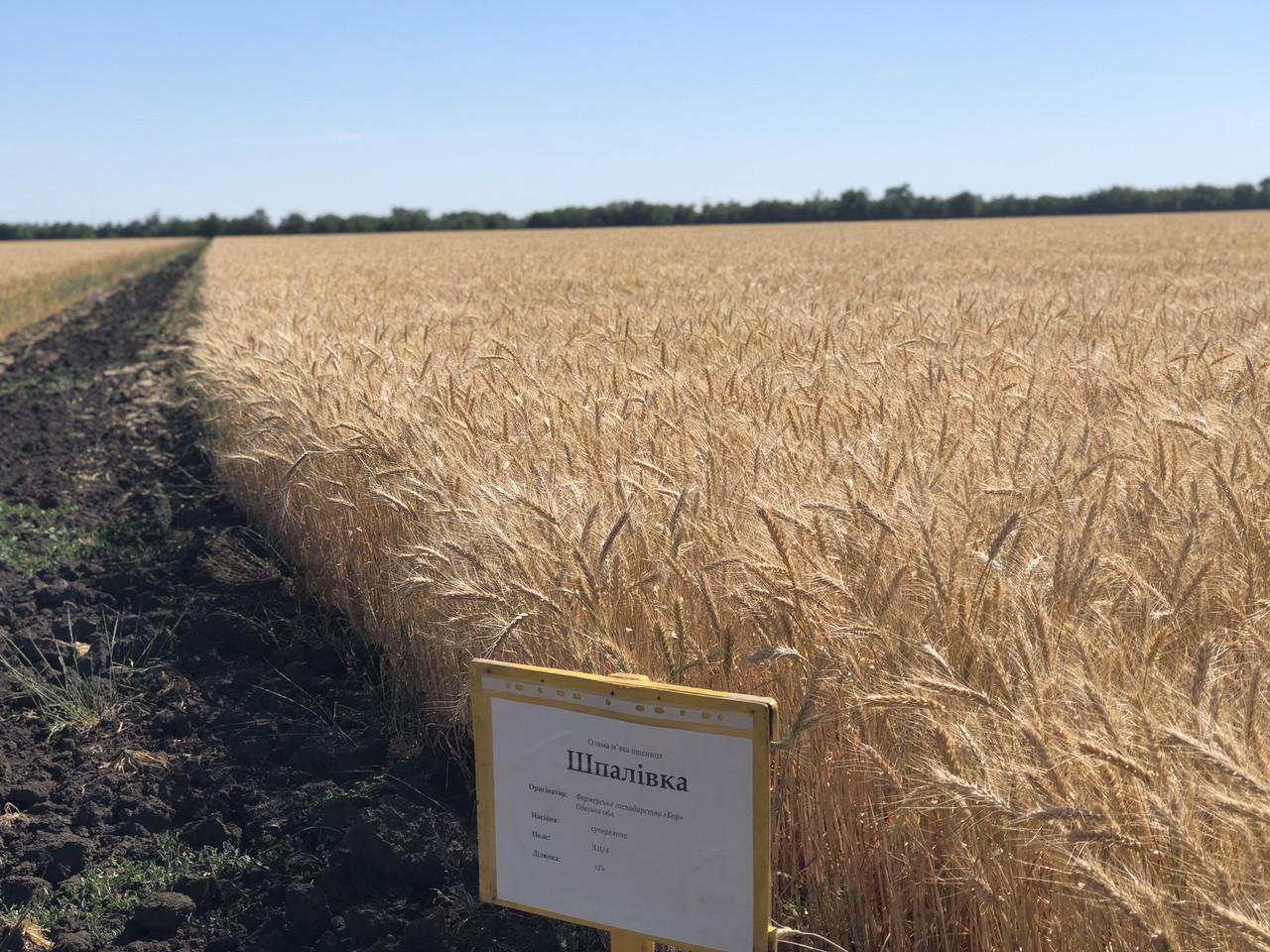 Семена пшеница озимая ШПАЛОВКА ЭЛИТА оригинатор ЧСС ОП БОР