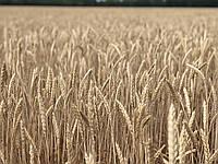 Семена пшеница озимая сорт СКИПEТР  P1 безостая