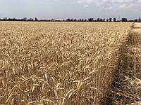 Семена пшеница озимая сорт САГАЙДАК Р1 Полтавская государственная агротехническая академия