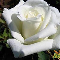 Саженец Роза чайно-гибридных «Боинг»