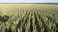 Озима пшениця  Борія